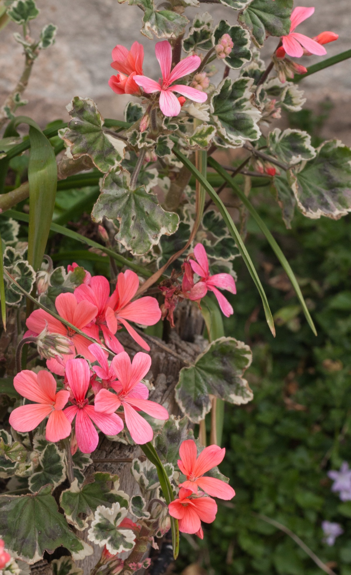 Geraniums from cuttings