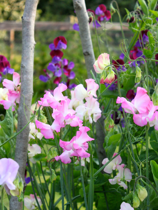 How-To-Grow-Sweet-Peas