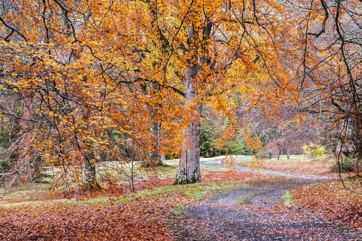 'Now the leaves are falling fast': Dawyck, lateautumn