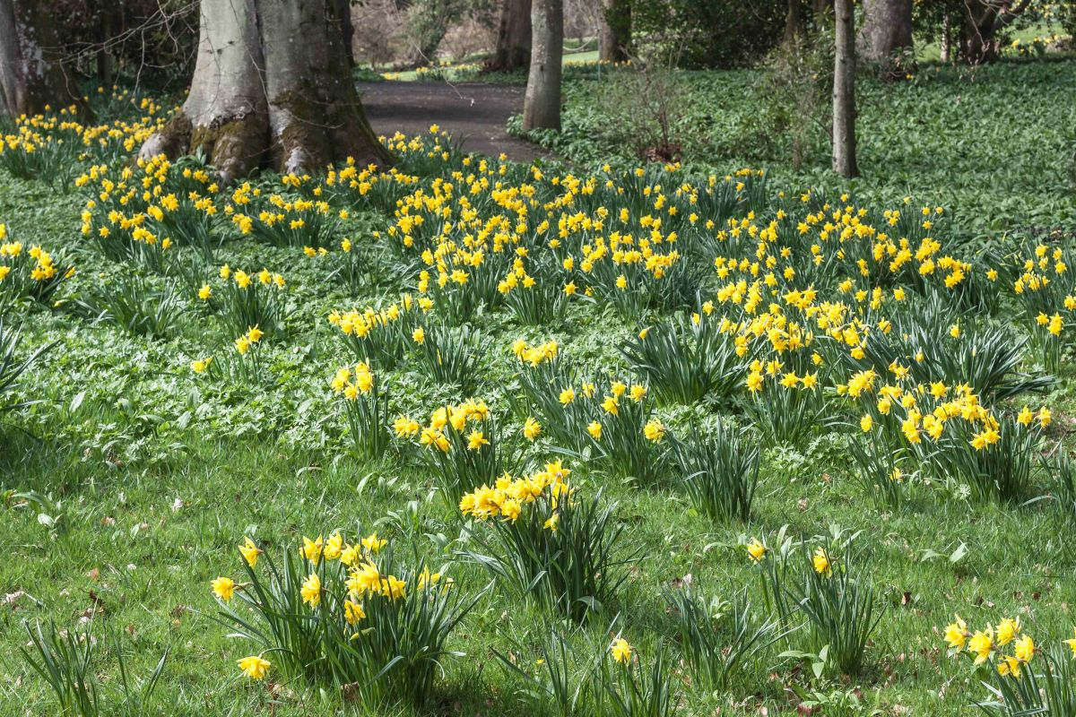 The Backhouse Daffodil Festival